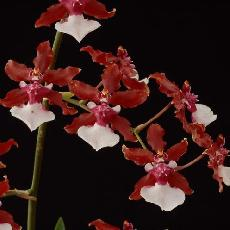 Oncidium  'Sharry Baby Sweet Fragrance'