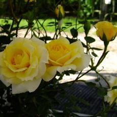 Rosa  'Petit Canard'