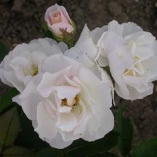Rosa  'Feeling'