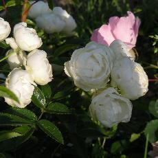 Rosa  'Moustique'