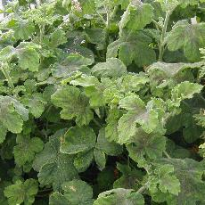 Pelargonium  'Chocolate Tomentosum'