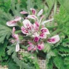 Pelargonium  'Little Gem'