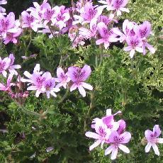 Pelargonium  'Prince Ruppert'