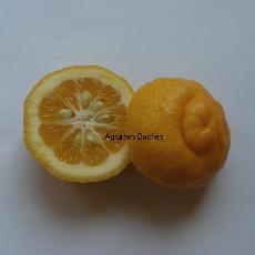 Citrus limonia  'Arabie Saoudite'