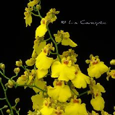 X Cyrtocidium  'Gower Ramsey'