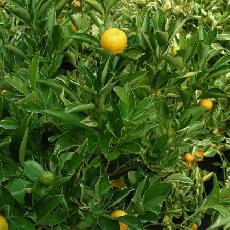 Citrus madurensis  'Panaché blanc'