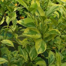 Citrus madurensis  'Panaché jaune Bachès'