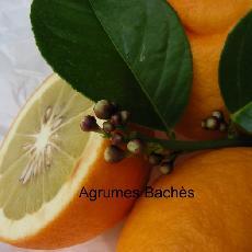 Citrus medica  'Rhobs el Arsa'