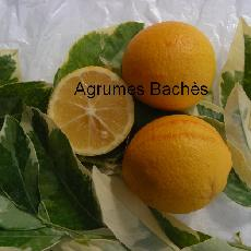 Citrus limonia  'Volkameriana panach�'