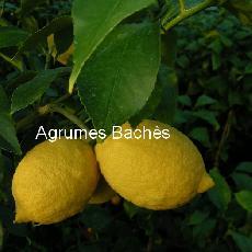 Citrus limon  'Bétéra'