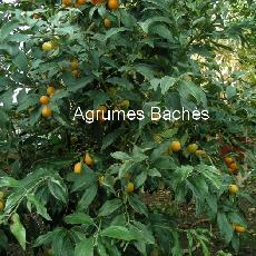 Fortunella margarita  'variegata'