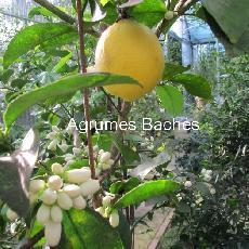 Citrus limon  'Dulcis'