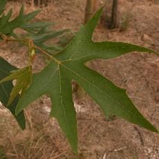 Platanus orientalis f. digitata