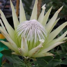 Protea cynaroides  'White King'