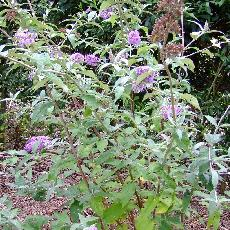 Buddleja  'West Hill'