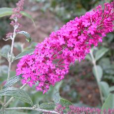 Buddleja davidii  'Summer Beauty'