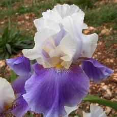 Iris  'Mani Pulite'