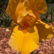 Iris  'Saffron Robe'