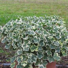 Pelargonium  'Jips Twinck'