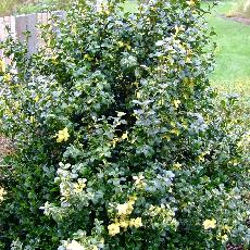 Buxus sempervirens  'Gold Tip'