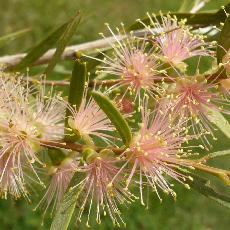 Callistemon  'Injune'