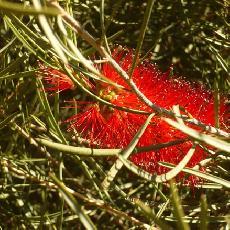 Callistemon phoeniceus