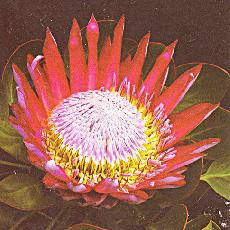 Protea cynaroides  'Mini King'