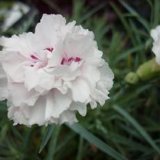 Dianthus pumila  'A good white'