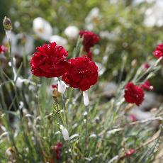 Dianthus pumila  'A good red'