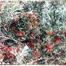 Grevillea  'Wimpara Red'