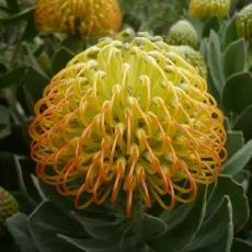 Leucospermum cordifolium  'Cooper carnival'