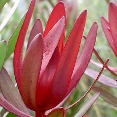 Leucadendron hybride  'Safari Sunset'