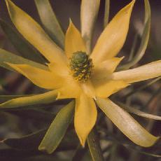 Leucadendron hybride  'floridum pisa'