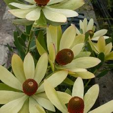 Leucadendron hybride  'summer sun'