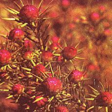 Leucadendron lanigerum  'jubilée crown'