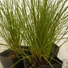 Lomandra filiformis  'savanna blue'