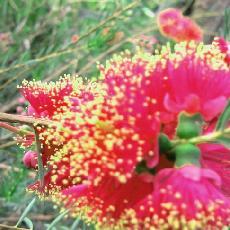 Melaleuca fulgens   'pink'