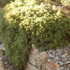 Melaleuca incana  'dwarft'