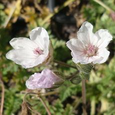 Erodium chrysanthum  'Pink Flowered'