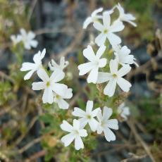 Erinus alpinus var. albus