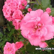 Rosa  'Les Amoureux de Peynet R Meitobla'