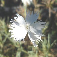 Dianthus tristis