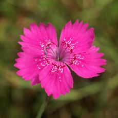Dianthus deltoides  'Rosea'