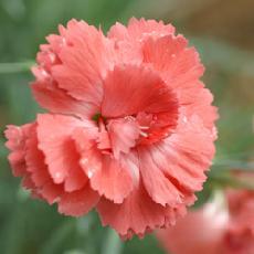 Dianthus  'Diana'