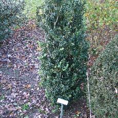 Buxus sempervirens  'Handsworthii'