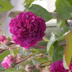 Rosa  'Blue Magenta'