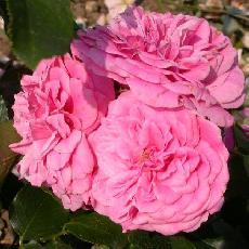 Rosa  'Les quatre saisons'