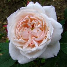 Rosa  'Comtesse de Rocquigny'