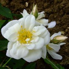 Rosa moschata  'Plena'
