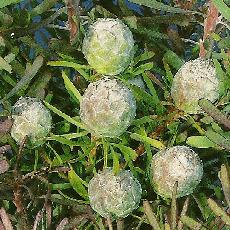 Leucadendron galpinii  'Purple Haze'